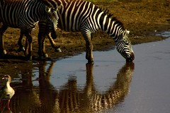 LAGO NAKURU (RLuna (Instagram @rluna1982)) Tags: kenya africa fauna solioranch aberdares naturaleza cebra lago masai nakuru amboseli kilimanjaro ukunda safari 4x4 viaje vacaciones holidays photo canon rluna rluna1982 karibu hakunamatata polepole wildlife kenianairlines instagram flysafarilink spotlight instagramapp photography natural