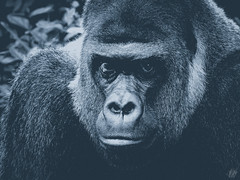 THE SILVERBACK (eliewolfphotography) Tags: gorilla gorillas bw bnw animals africa african wildlife wildlifephotographer wildlifephotography nature naturelovers nikon naturephotography natgeo naturephotographer conservation conservationphotography closeup