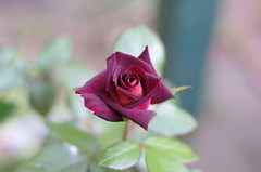RSL Rose (nickant44) Tags: rose red flower bokeh pentax k01 50mm f17 australia smca