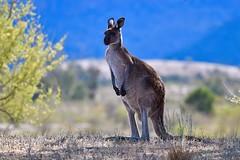 Western Grey Kangaroo on a ridge (cirdantravels (Fons Buts)) Tags: specanimal coth5 specanimalphotooftheday cirdantravels fonsbuts australia australianwildlife wildlifephotography naturalhabitat natur natuur nature wildanimal
