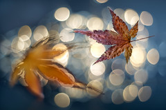 The Last Dance (bresciano.carla) Tags: pentacon1850mm pentaxk1 autumn leaves bokeh bubbles light m42 manuallens vintagelens pentaxart