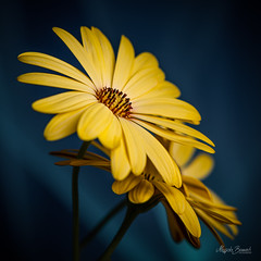 Yellow bouquet (Magda Banach) Tags: nikond850 bluebackground bouquet colors delicate flora flower macro nature plants yellow