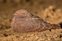 Nightjar (Rajiv Lather) Tags: nightjar india indian birds aves birding birder avian avifauna wildlife nature photograph photo image