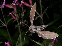 Rolf_Nagel-Fl-2511-Sphinx pinastri (Insektenflug) Tags: sphinxpinastri pinehawkmoth kiefernschwärmer fyrresværmer tallsvärmare sphinx pinastri pine hawkmoth schwärmer sværmer svärmare flight fly schmetterling sphingidae insects im flying fliegend airborne fliegen flug inflight nachtfalter insectflight insectinflight insekt insekten insektenflug lepidoptera butterfly schweden sverige västragötaland västra götaland tranemo ambjörnarp mörkhult sweden fauna wildlife insect imflug minoltaerokkor75mm erokkor minolta rokkor 75mm envole en vole