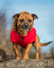Picture of the Day (Keshet Kennels & Rescue) Tags: fall autumn adoption dog dogs canine ottawa ontario canada keshet breed animal animals kennel rescue pet pets nature photography red coat furlined little pug mix clothes jacket blue sky tough