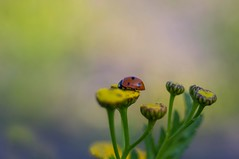 Vintage lens photography (steffos1986) Tags: nature macro insect bokeh autumn fall flora flower flowers yellow red green europe scandinavia norway outdoor outside