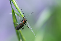 Coleo (Gilles B. Photographe) Tags: insecte closeup iledefrance macro nature france wildlife faune insectes outdoor insect insects animals animal herblay îledefrance