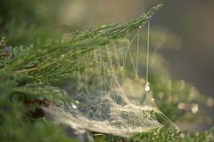 FantasticTrap (Tony Tooth) Tags: nikon d600 nikkor 105mm macro cobweb spiderweb conifer droplets sunlit nature broughpark leek staffs staffordshire
