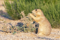 Forbs--they're what's for dinner (Squirrel Girl cbk) Tags: cynomysgunnisoni gunnisonsprairiedog kafb prairiedog eating forbs rodent albuquerque newmexico unitedstatesofamerica