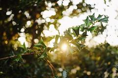 lost in thought (Leah (@area25artistry)) Tags: fujifilmxt1 fuji xt1 fujixflenses xf35mmf2 nature backlight bokeh holly mississippi outdoors sunrise mirrorless fujifilm fujinon