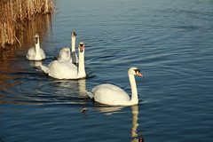 My Favourite Swan family on A Beautiful December day (janpaulkelly) Tags: swans family birds birdlovers white blue reflections park pond lake water outside december biodiversity sustainablepark wildlife nature dublin ireland