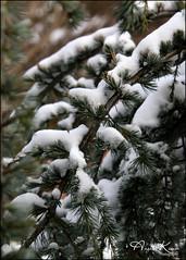 A Taste Of Our First Snow Fall... (angelakanner) Tags: canon70d tamron18400 closeup snow evergreen garden longisland