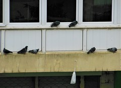 HOMELESS PIGEONS (Atig) Tags: pigeon bird animal cold homeless window wall building glass
