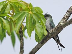 Grey-rumped Tree-swift (ChongBT) Tags: nature natural wild life wildlife animal bird avian ornithology watching birdwatching malaysia olympus grey romped tree swift treeswift hemiprocne longipennis female