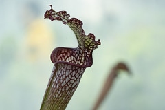 DSC02457 (huckinstitutes) Tags: carnivorous parasitic plant biology