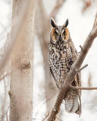 Long-eared Owl (T L Sepkovic) Tags: longearedowl leow owl raptor birdsofprey birds birdlover birdnerd wildlife wildlifephotography canon canonusa canon5dmkiv lenscoat promediagear