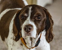 Charlie Boy (Stephen G Nelson) Tags: pet dog brittany tucson arizona