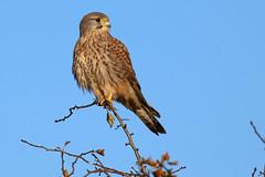 Kestrel (robin denton) Tags: falcotinnunculus wildlife kestrel birdofprey bird falcon nature yorkshire