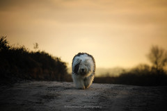 "Scarlett  "" explore "" (dewollewei) Tags: oldenglishsheepdog oldenglishsheepdogs old english sheepdog sheepdogs dewollewei scarlett canon sunset zonsondergang dog hond white path explore explored exploreddogs 5dmark4 tamron tamron70200 walk dogs"