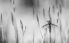 Bibio Reticulatus (Gilles B. Photographe) Tags: france closeup insects insect animal printemps wildlife macro forêt outdoor forest nature faune animals insecte bokeh insectes iledefrance bouffémont îledefrance