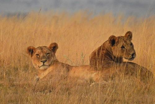 2078ex lioness duo in grasses