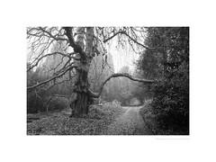 Belper cemetery (G. Postlethwaite esq.) Tags: bw belperboneyard derbyshire unlimitedphotos blackandwhite cemetery fog graveyard leaves mist monochrome photoborder track trees