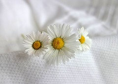 three daisies (majka44) Tags: bokeh white flower daisies macro 2019 november macroworld lifestyle stilllife elegance beauty nice soft composition three 3
