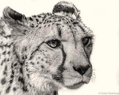 Focused (Robert Streithorst) Tags: cheetah coffeetone face feline mono zoosofnorthamerica bigcat