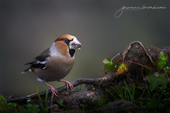 Frosone - Hawfinch (Coccothraustes coccothraustes - Brisson, 1760) (Bradiponi) Tags: autumn leaves brown light bird perch branch nature wildlife