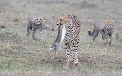Bringing back breakfast (tickspics ) Tags: africa cheetah maranorth kenya acinonyxjubatus felidae felinae iucnredlistvulnerable mnc maranorthconservancy