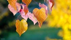 #Autumn - 7806 (✵ΨᗩSᗰIᘉᗴ HᗴᘉS✵84 000 000 THXS) Tags: autumn autumnleaves nature leaves leaf feuille feuilledautomne color belgium europa aaa namuroise look photo friends be yasminehens interest eu fr party greatphotographers lanamuroise flickering challenge sony sonydscrx10m4