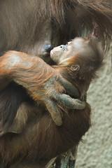 Sumatran Orangutan (Pongo abelii) (Seventh Heaven Photography - (Fauna)) Tags: pongo abelii sumatran orangutan primate baby subis puluh chester zoo cheshire england