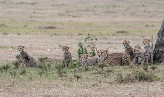 Kisaru and her six cubs (Tris Enticknap) Tags: africa kenya maranorthconservancy cheetah acinonyxjubatus bigcat