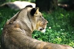 Lioness (filmcrazy1014) Tags: nikon nature wildlife outdoor lion animals bigcats lioness femalelion closeup majestic africananimals