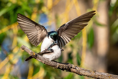 Tree Swallow (Gf220warbler) Tags: idaho swallow tachycineta hirundinidae passerine songbird