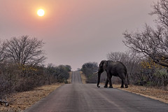 Sunrise elephant (juanita nicholson) Tags: elephant sunrise road trees nature wild wildlife outdoors outside krugernationalpark southafrica