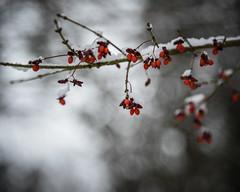 (HW111) Tags: lowlight burningbush snow mood berries flickrfriday cold hbw