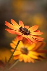 Earth tone (~ Jessy S ~) Tags: nikon d5000 nikkor 105mm macro macrophotography flower fleur flora orange catchy colorfull colors bokeh dof flowers earth tone brown yellow