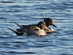 Pintail drakes 4.12.19 (ericy202) Tags: pintail ducks drake male water titchwell rspb
