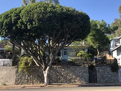 IMG_6932 (Kent MacElwee) Tags: la losangeles tree socal southerncalifornia highlandpark nela figueroastreet northeastlosangele ca usa