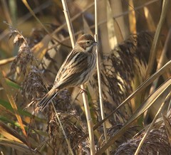 Female Reed Bunting - from the Zeiss Hide (glostopcat) Tags: reedbunting bunting songbird bird passerine wildlife winter december glos slimbridge wildfowlwetlandstrust