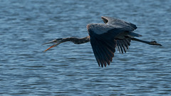 Hungry Hungry Heron (jakegurnsey) Tags: bird herongod inflight wildlife sony canada ontario great blue heron gm 100400mm f4556
