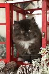 Persian Kitten (dollfacepersiankittens.com) Tags: persian kittens for sale doll face cattery trisha johnson white black bicolor animals pets cats kitten cat catsofinstagram kittensofinstagram pictures