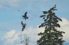 20190614D8E_2058FLR (cisco42) Tags: bc britishcolumbia canada baldeagle bird trees clouds