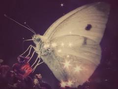my precious love (***étoile filante***) Tags: pentaxk30 butterfly schmetterling animal tier creative kreativ overlay doubleexposure stars sterne light licht love liebe life leben emotions soulmate souldeep soulful soul seele poetisch poetic macro closeup nahaufnahme