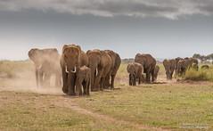 African Elephants - Loxidonta africana (rosebudl1959) Tags: amboseli zebraplainsamboseli elephant kenya november 2019