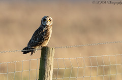 S.E.O(Posted) (KJB Photography.) Tags: seo short eared owl wetland fenland farmland