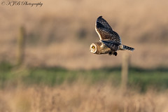 S.E.O(Catch) (KJB Photography.) Tags: short eared owl seo fenland wetland farmland vole catch bird prey