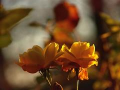 Meine letzte Rose im Jahr 2019 (ISOZPHOTO) Tags: isoz isozphoto rose blume flower fleur colorful pflanze plant 2019 gelb orange bokeh garten olympus zuiko zuiko40150 40150 fourthirds e510 olympuse510 40150mm zuiko40150mm 43 dslr spiegelreflex evolt colourful beautifulcolors beautifullight farben colors freistellung schärfentiefe dof depthoffield closeup
