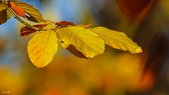#Autumn - 7807 (✵ΨᗩSᗰIᘉᗴ HᗴᘉS✵84 000 000 THXS) Tags: sony sonydscrx10m4 automne autumn autumnleaves nature yellow feuille belgium europa aaa namuroise look photo friends be yasminehens interest eu fr party greatphotographers lanamuroise flickering challenge bokeh